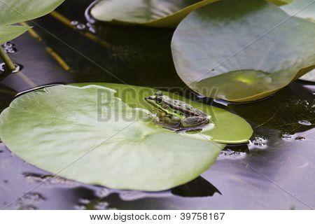 Green Pond Frog