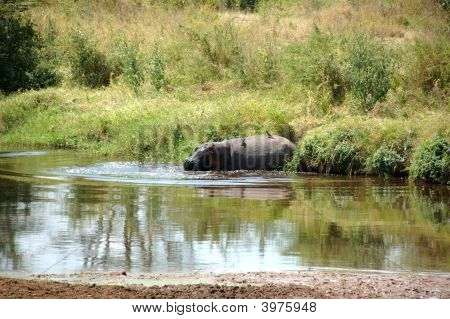 Hippo In The Serengeti