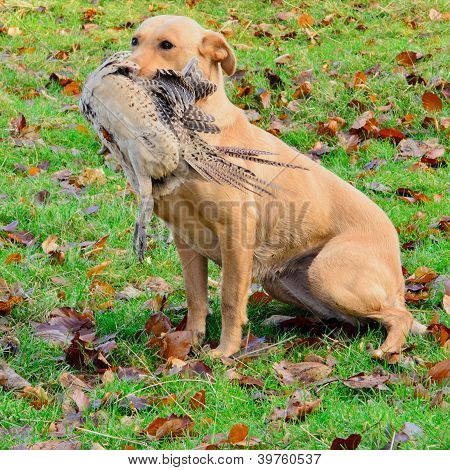Golden Labrador Carrying The Pheasant