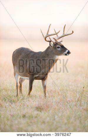 Whitetail Buck In Fog