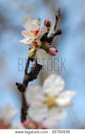 Almond Tree Bud And Flower