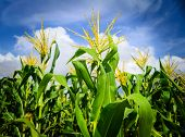 stock photo of sugar industry  - Corn field after harvested with cloudy blue sky - JPG