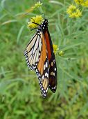 picture of colouder  - monarch butterfly in late morning diffused sunlight - JPG