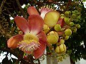 pic of cannonball-flower  - The cannonball tree at Wat Arunratchawararam Bangkok - JPG