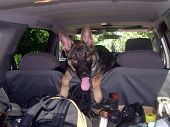 image of shepherd dog  - Tired after long hike - JPG