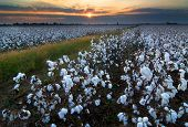 image of boll  - field of open cotton bolls at sunset in the mississippi delta of missouri - JPG