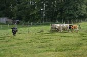 pic of feedlot  - some cattle on a meadow near the edge of a forest in Southern Germany - JPG