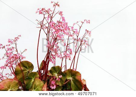 Pretty Pink Pelargonium Flowera