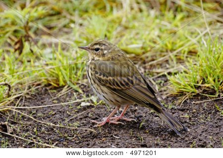 Indian Tree Pipit – Anthus Hodgsoni Yunnanensis