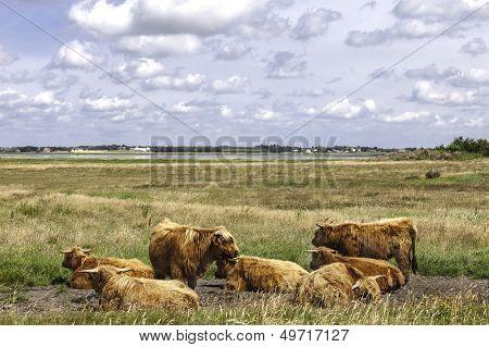 Herd Of Hereford Cows Resting In Meadow