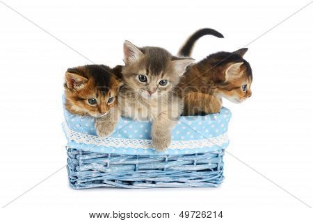 Three Cute Somali Kittens Isolated On White Background