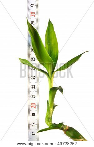 Plant With A Ruler