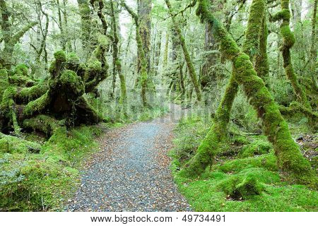 Temperate rain forest, Fiordland National Park, South Island,  New Zealand.Track -  Lake Gunn Nature Walk