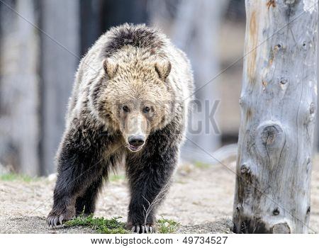 Grizzly Bear Walks in Woods