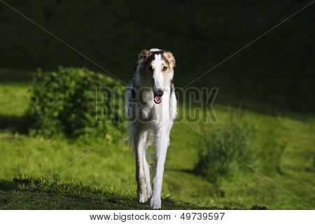 large Borzoi sight-hound in a woolf-like pose