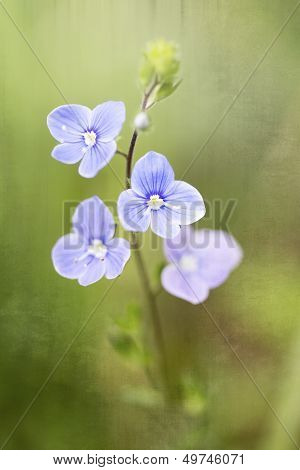 Germander Speedwell (Veronica chamaedrys)