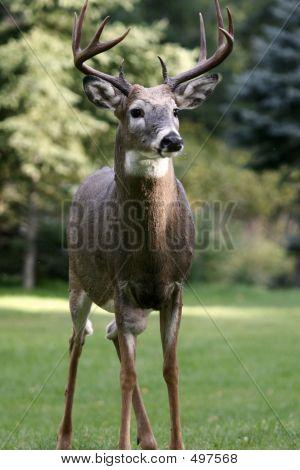 Männliche White Tailed Deer