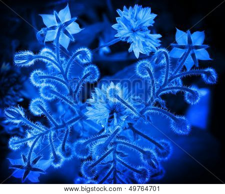 Blue Borage And Cornflower Flowers. Closeup Stylized Monochrome Photo Background