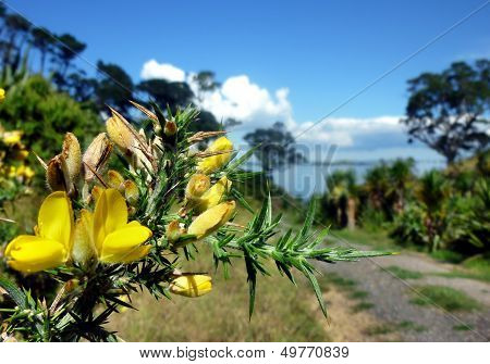 Yellow Blossoms In Front Of A Hiking Path