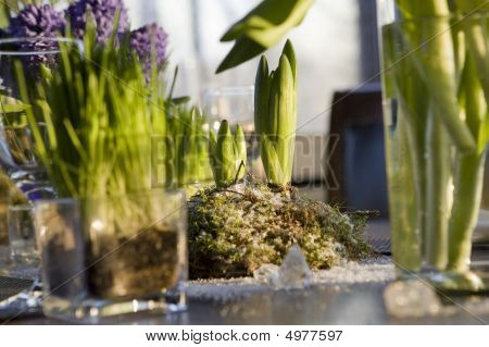 Decoration Of Dining Table. Hyacinth.