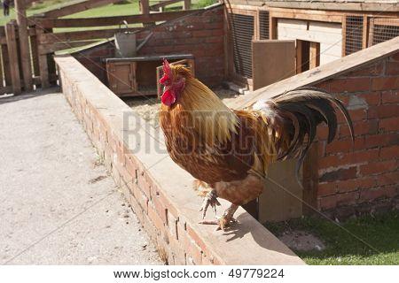 Antwerp belgium bantam hen or cockerel in pig stye