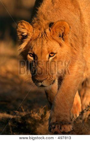 León acecho