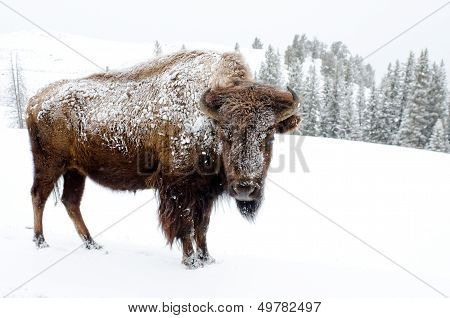 Bison Covered in Snow, Yellowstone National Park