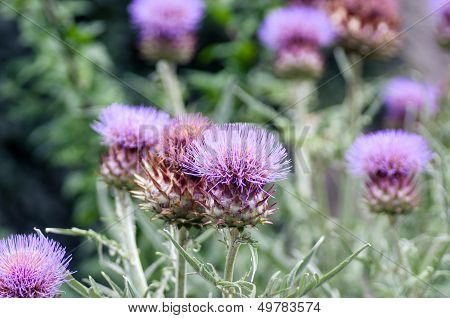 Flower of Thistle purple on the background of a green Park