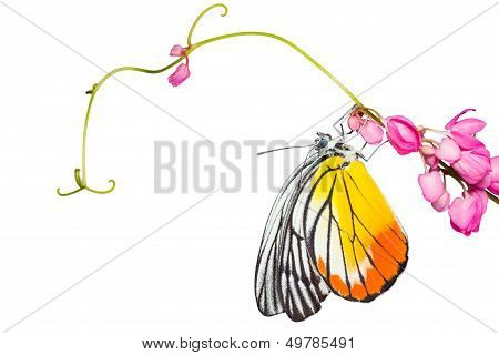 Painted Jezebel Butterfly