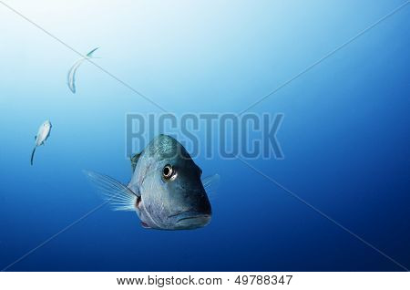 Grey Snapper Underwater