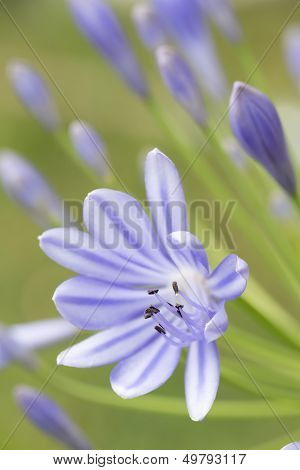 African blue lily (agapanthos africanus)