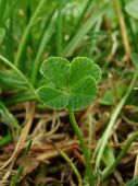 pic of four leaf clover  - four - JPG