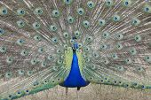 pic of indian peafowl  - Indian Peafowl Pavo cristatus  - JPG
