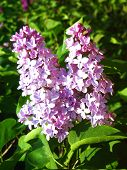 Two Purple Lilas poster