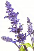 pic of clary  - Purple salvia nemorosa plant on white background - JPG