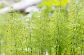 stock photo of horsetail  - Wood horsetail  - JPG
