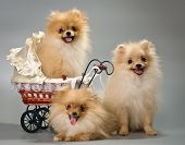 stock photo of sidecar  - Three puppies with a sidecar in studio - JPG