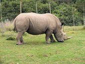 Постер, плакат: Rhinoceros