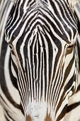 Grevys Zebra Face Close Up