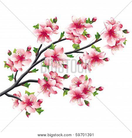 Cherry Blossoms Branch, Japanese Tree Sakura