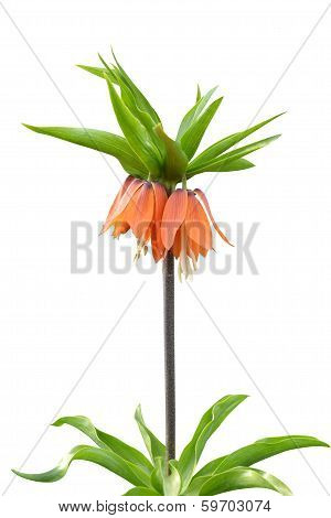 Fritillaria flower bell isolated
