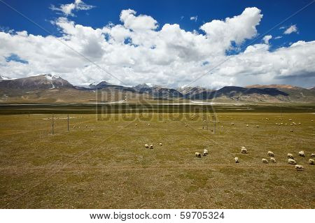 Sheep Grazing On Tibetan Plateau Plains