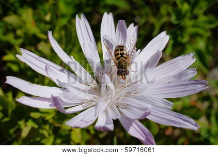 syrphid on wildflower in