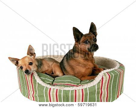 two chihuahuas on a pet bed