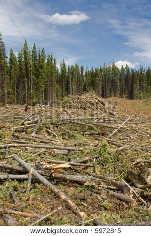 Cutting Down Beetle Killed Forest
