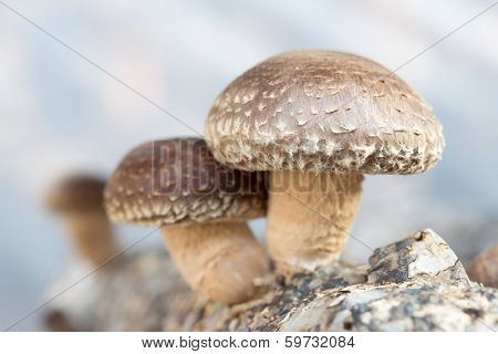 shiitake mushrooms being cultivated the traditional organic way