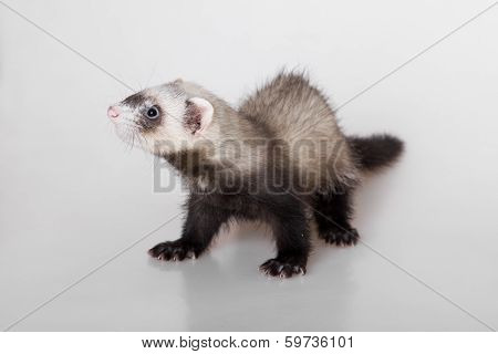 Portrait Of A Young Polecat