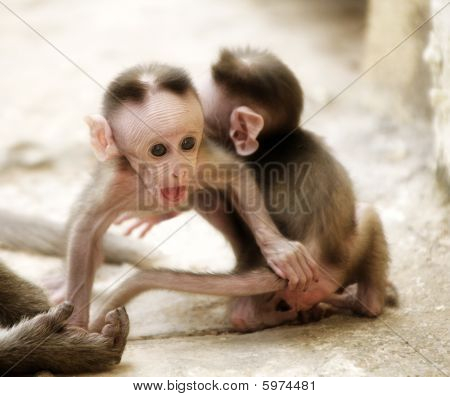 Monkey Macaca Babies In Indian Town