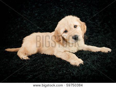 Golden- Doodle Puppy