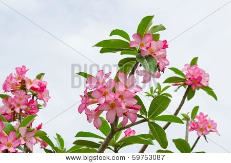 Panicle Of Pink Desert Rose